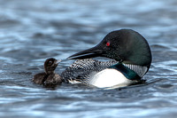 Loon Chick and Parent