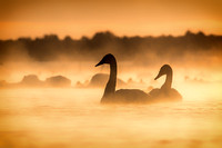 The Beautiful Trumpeter Swans